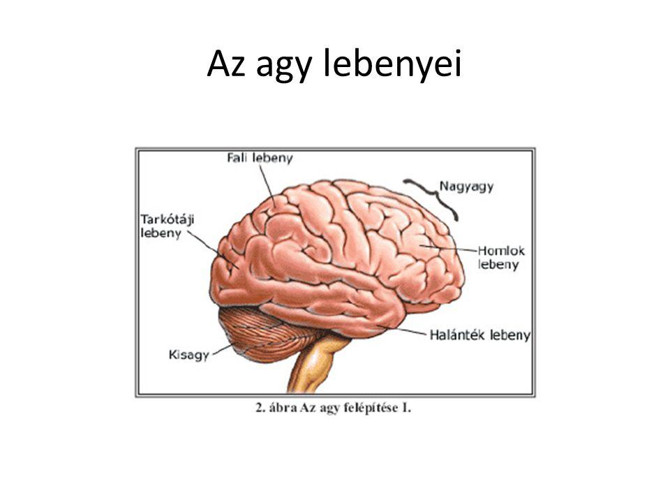 Az agy lebenyei