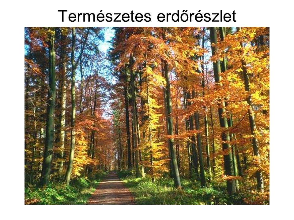 Természetes erdőrészlet