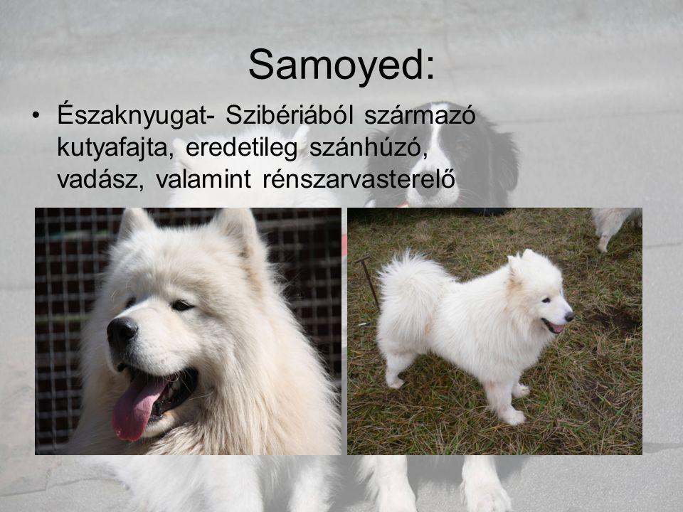 Samoyed: Északnyugat- Szibériából származó kutyafajta, eredetileg szánhúzó, vadász, valamint rénszarvasterelő.