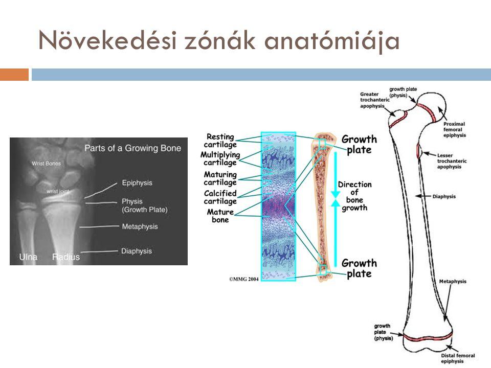 Növekedési zónák anatómiája