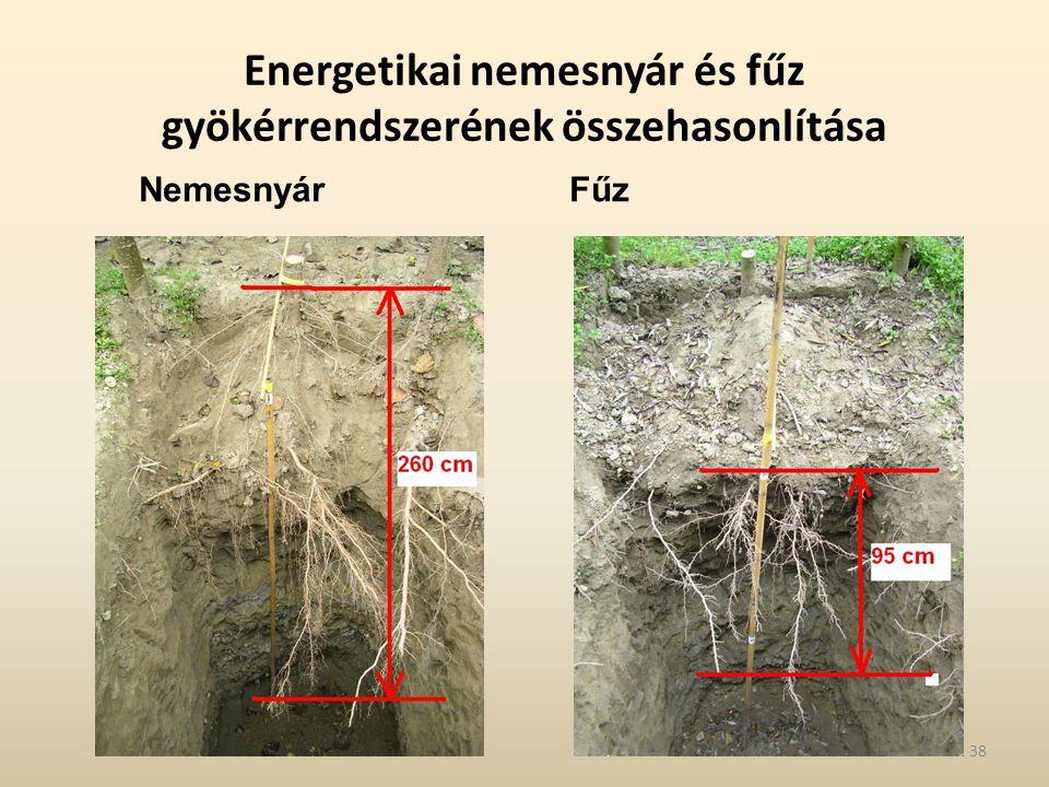 Energetikai nemesnyár és fűz gyökérrendszerének összehasonlítása
