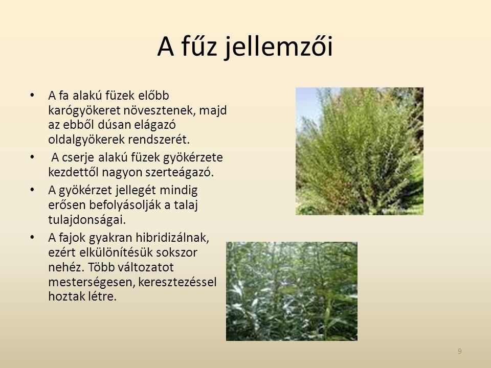 A fűz jellemzői A fa alakú füzek előbb karógyökeret növesztenek, majd az ebből dúsan elágazó oldalgyökerek rendszerét.