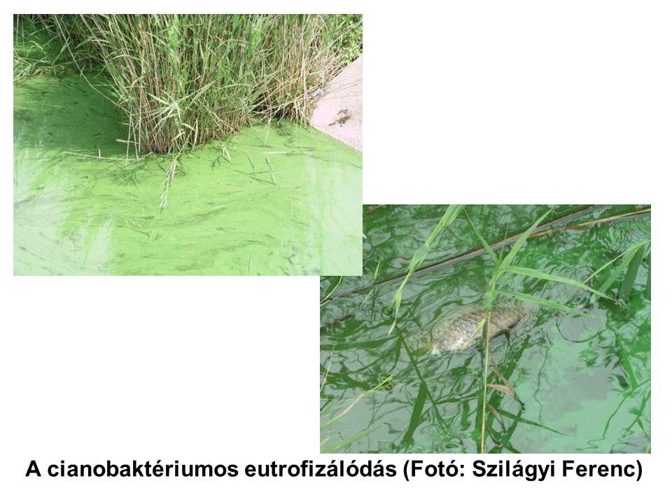 A cianobaktériumos eutrofizálódás (Fotó: Szilágyi Ferenc)