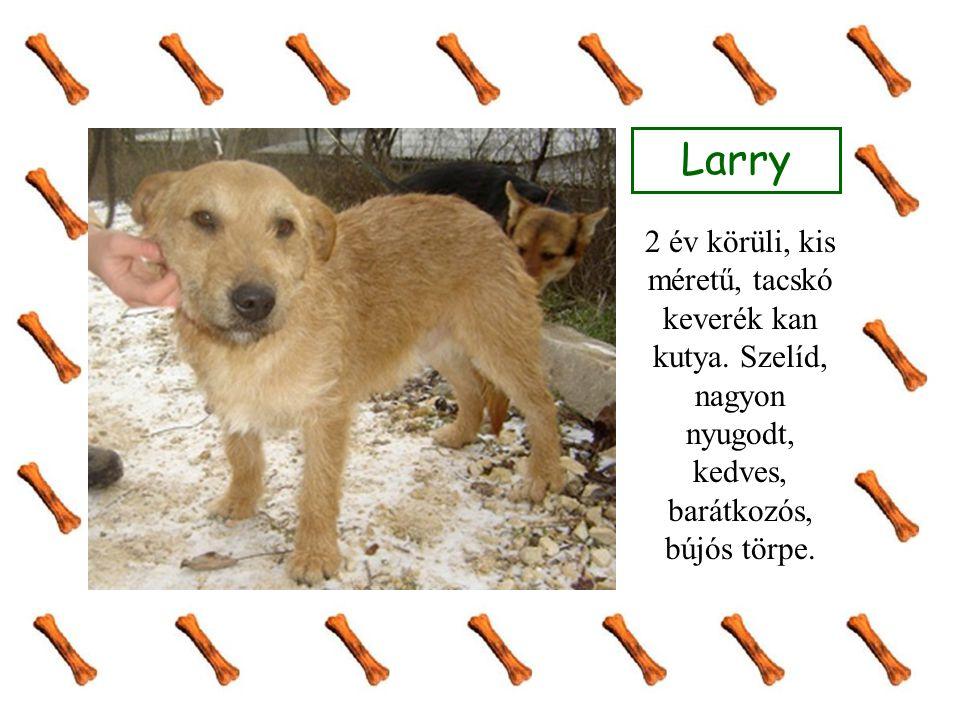 Larry 2 év körüli, kis méretű, tacskó keverék kan kutya.