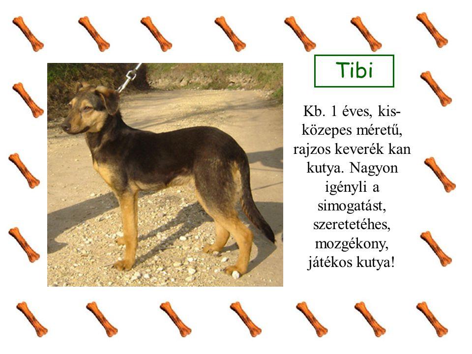 Tibi Kb. 1 éves, kis-közepes méretű, rajzos keverék kan kutya.