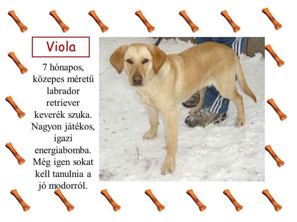 Viola 7 hónapos, közepes méretű labrador retriever keverék szuka.