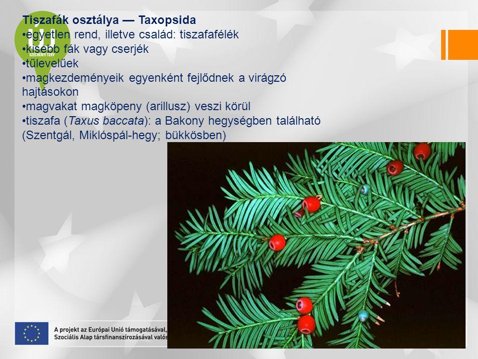 Tiszafák osztálya — Taxopsida