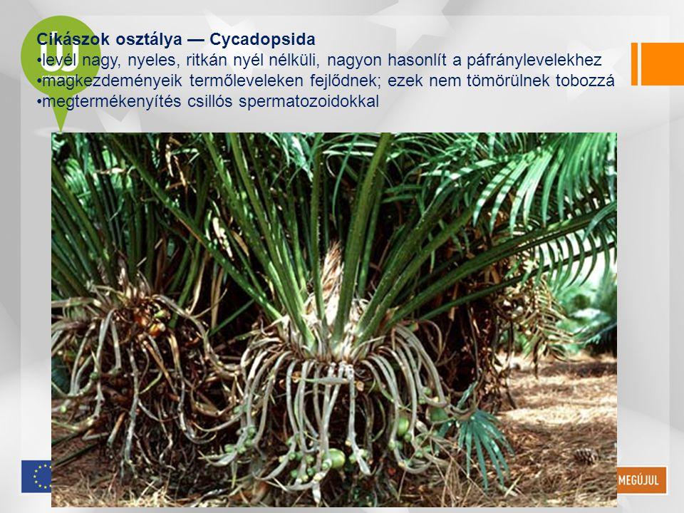 Cikászok osztálya — Cycadopsida