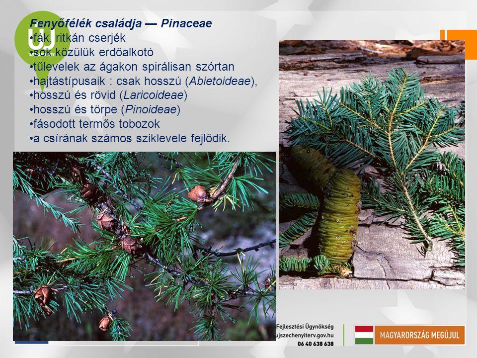 Fenyőfélék családja — Pinaceae