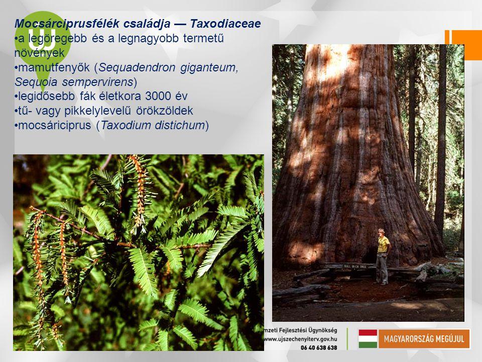 Mocsárciprusfélék családja — Taxodiaceae