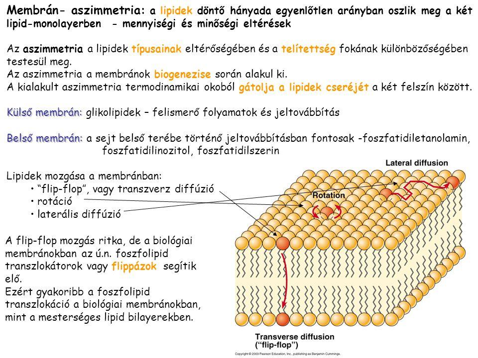Membrán- aszimmetria: a lipidek döntő hányada egyenlőtlen arányban oszlik meg a két lipid-monolayerben - mennyiségi és minőségi eltérések