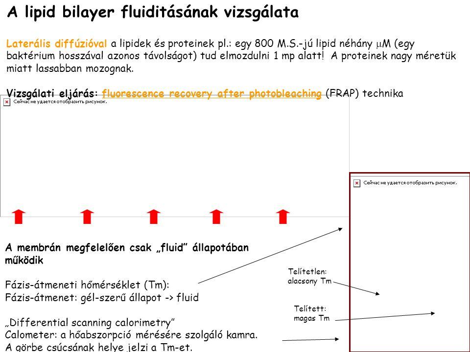 A lipid bilayer fluiditásának vizsgálata