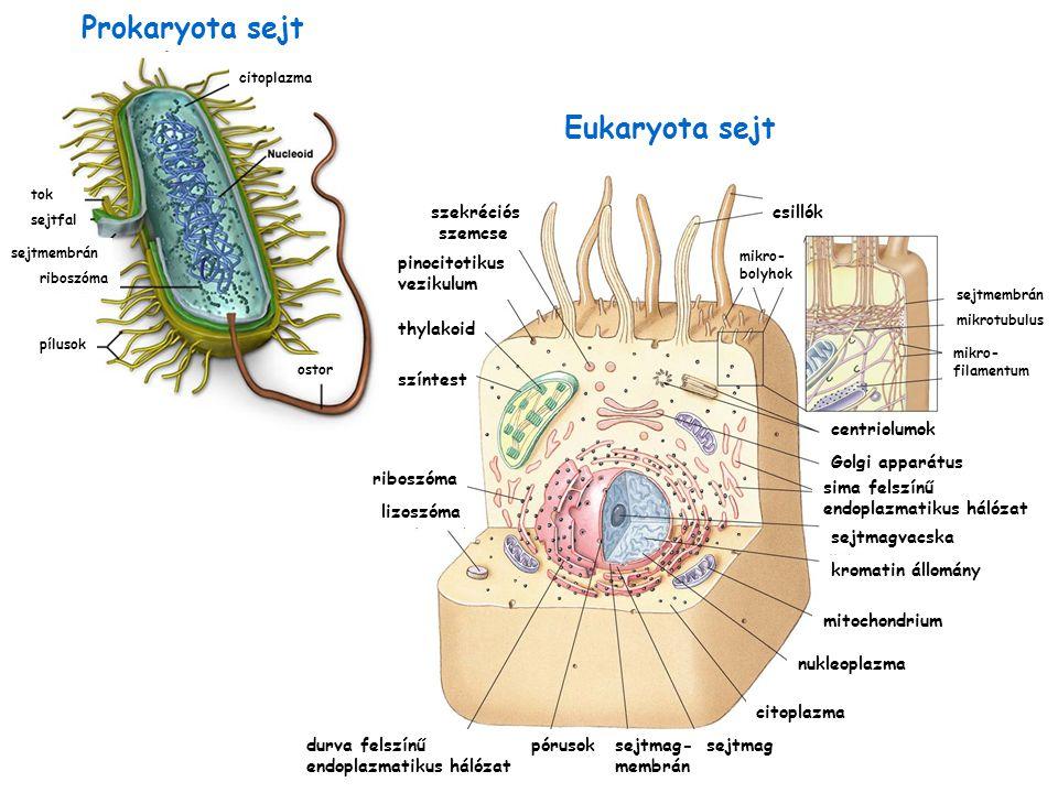 Prokaryota sejt Eukaryota sejt szekréciós szemcse színtest riboszóma