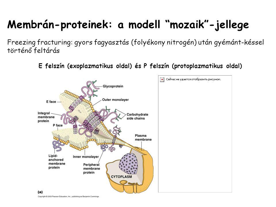 E felszín (exoplazmatikus oldal) és P felszín (protoplazmatikus oldal)