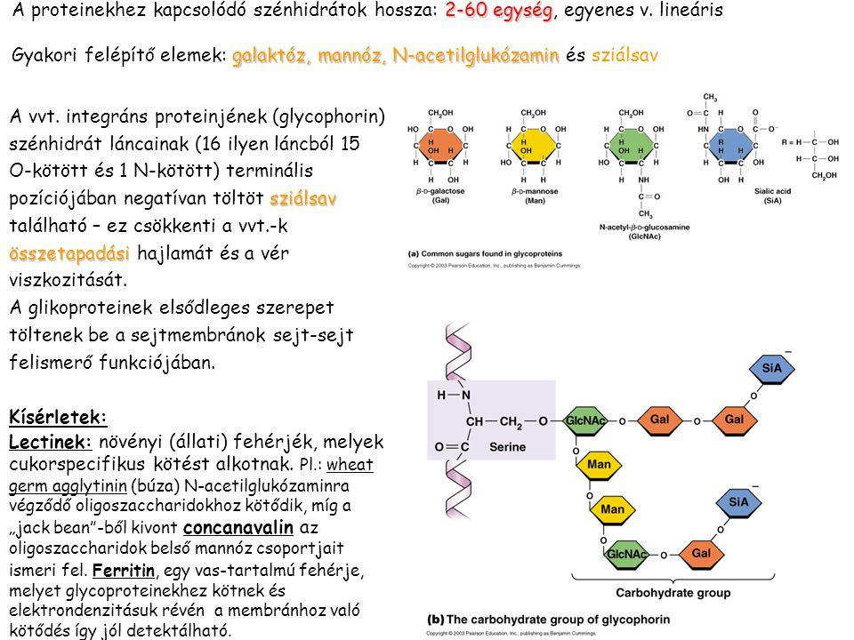A proteinekhez kapcsolódó szénhidrátok hossza: 2-60 egység, egyenes v
