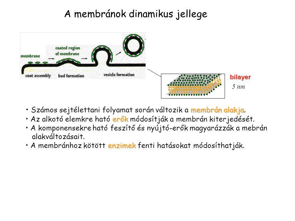 A membránok dinamikus jellege