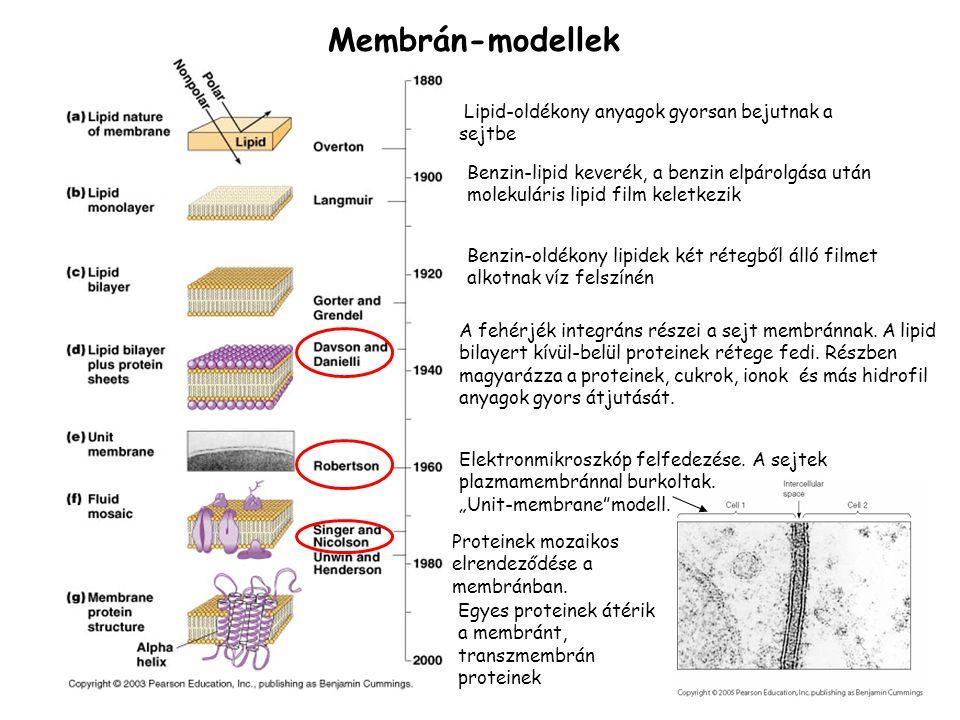 Membrán-modellek Lipid-oldékony anyagok gyorsan bejutnak a sejtbe