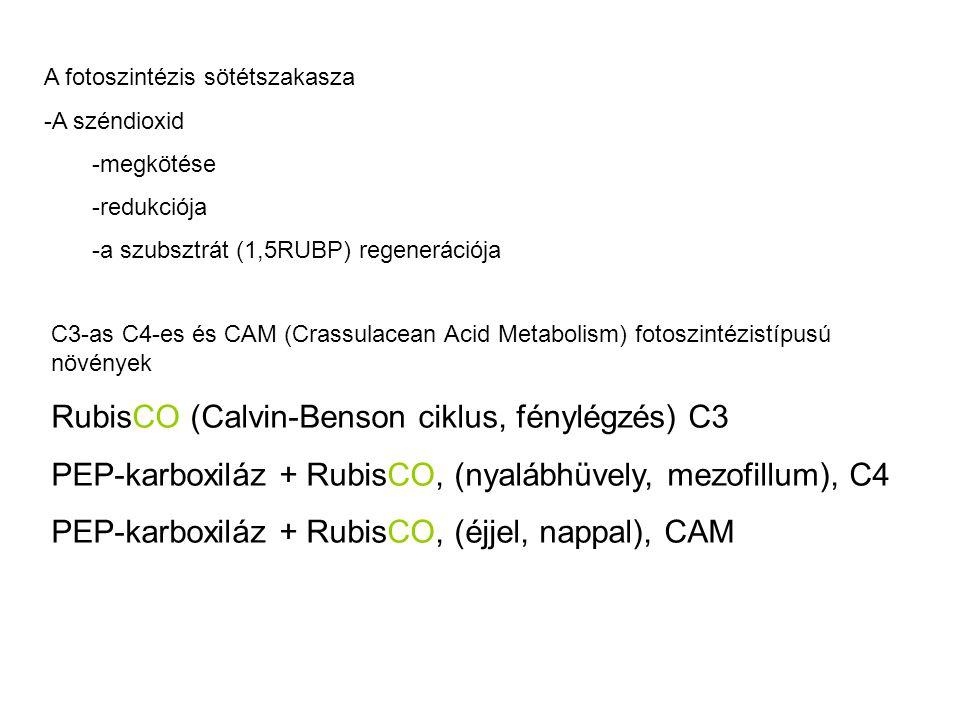 RubisCO (Calvin-Benson ciklus, fénylégzés) C3