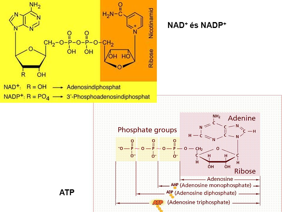 NAD+ és NADP+ ATP