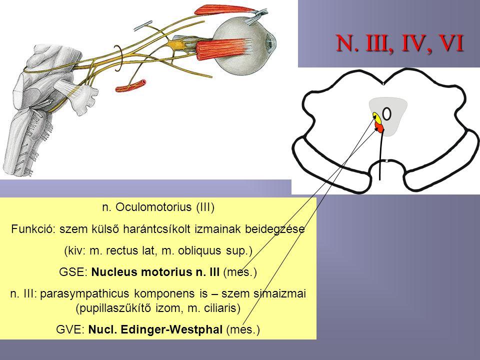 N. III, IV, VI n. Oculomotorius (III)