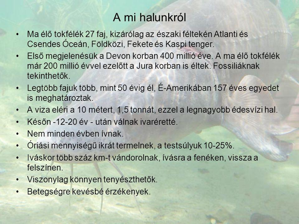A mi halunkról Ma élő tokfélék 27 faj, kizárólag az északi féltekén Atlanti és Csendes Óceán, Földközi, Fekete és Kaspi tenger.