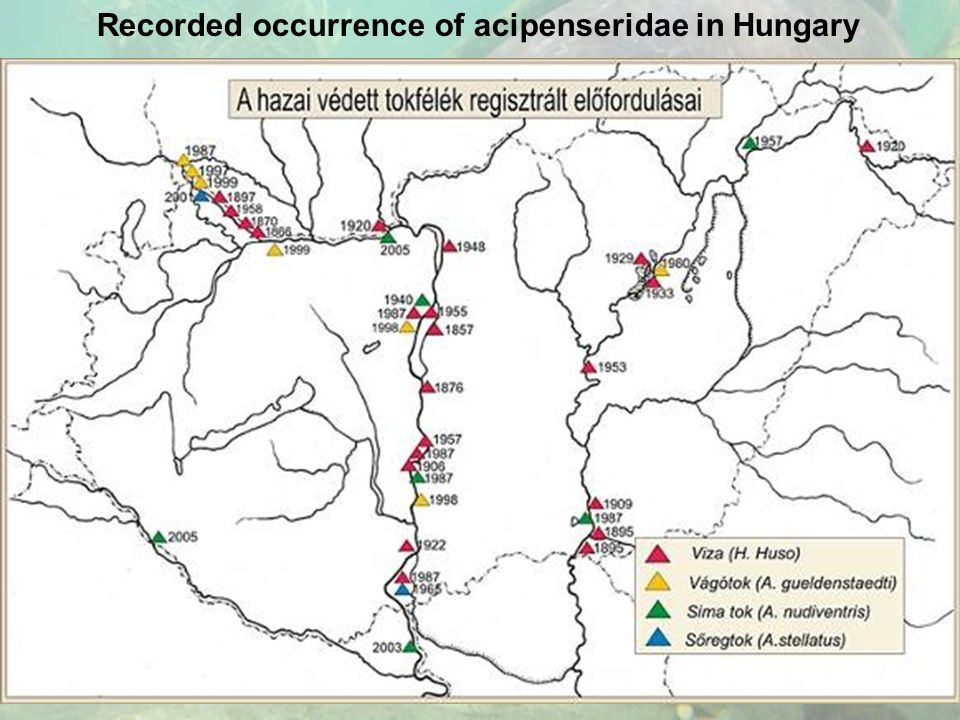 Recorded occurrence of acipenseridae in Hungary