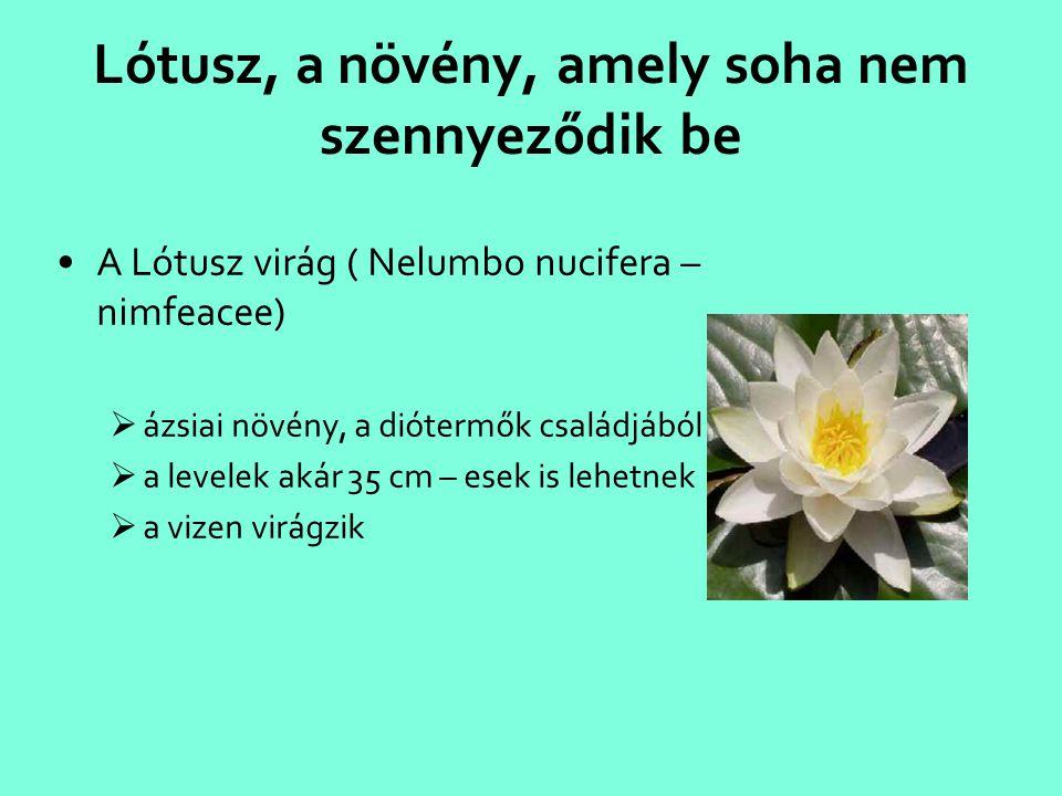 Lótusz, a növény, amely soha nem szennyeződik be
