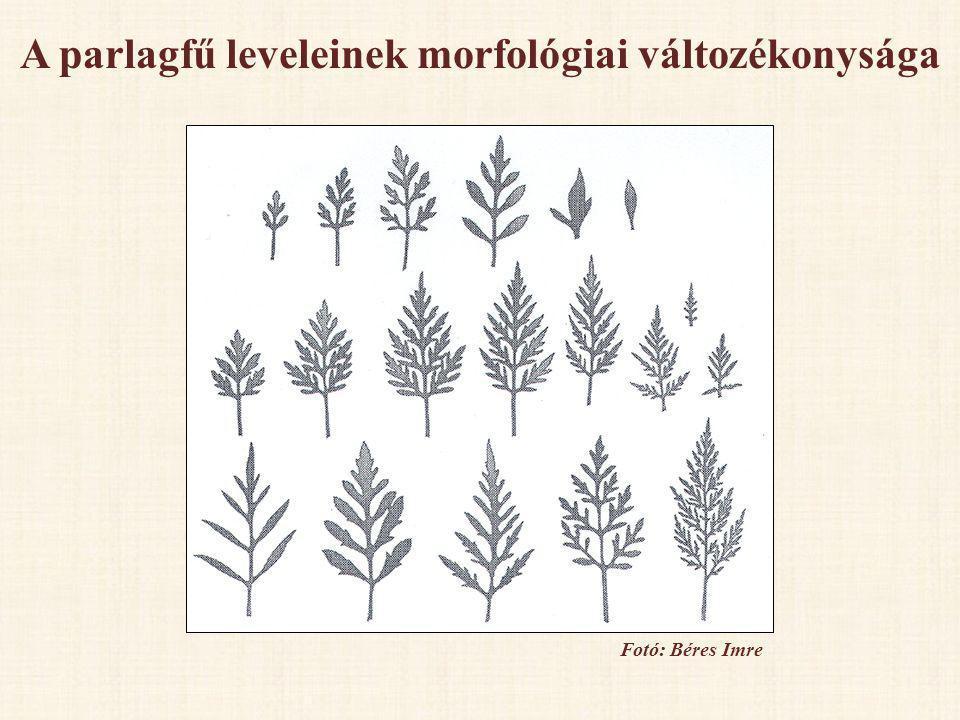 A parlagfű leveleinek morfológiai változékonysága