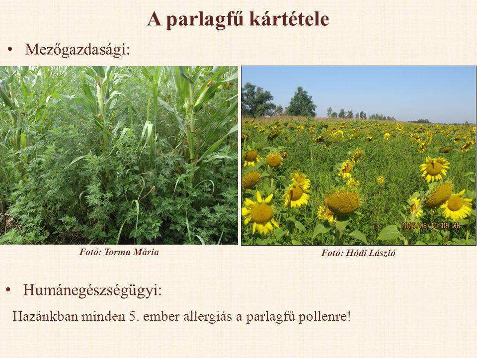 A parlagfű kártétele Mezőgazdasági: Humánegészségügyi: