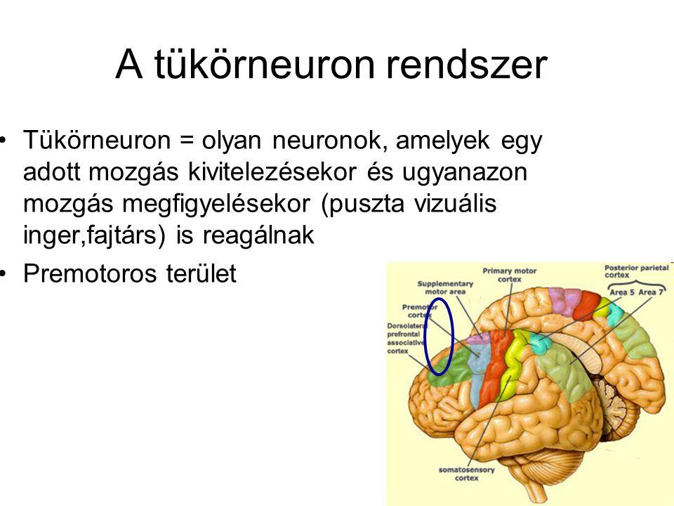 A tükörneuron rendszer