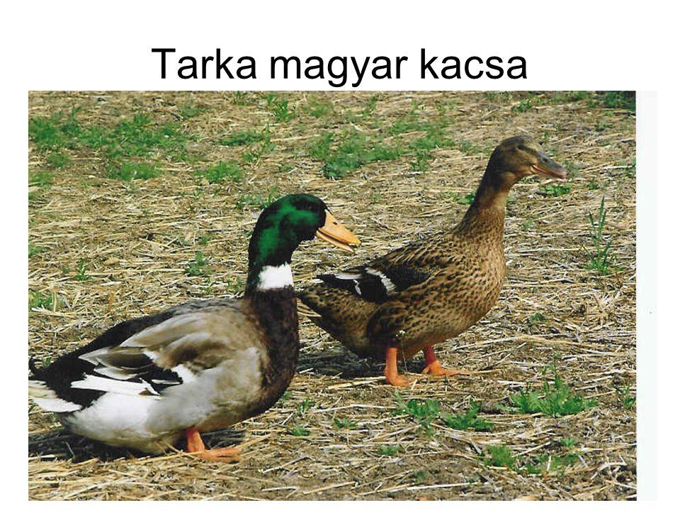 Tarka magyar kacsa