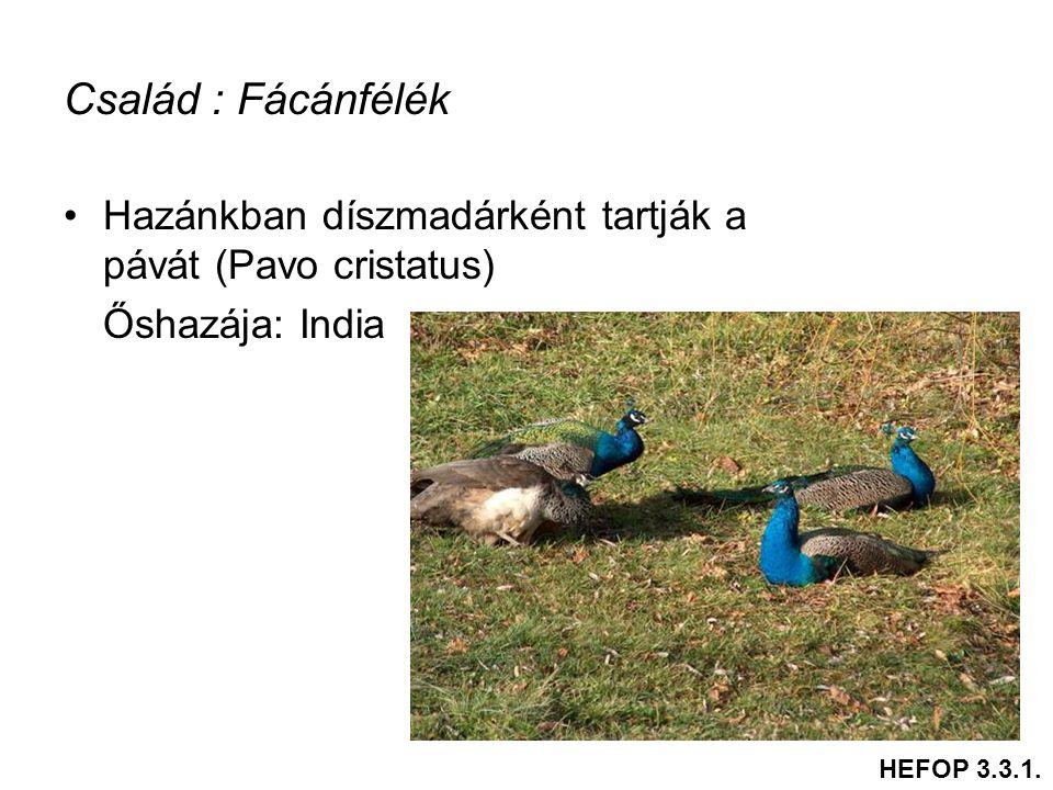 Család : Fácánfélék Hazánkban díszmadárként tartják a pávát (Pavo cristatus) Őshazája: India.