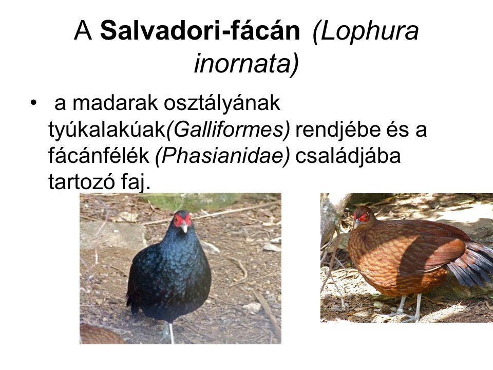 A Salvadori-fácán (Lophura inornata)