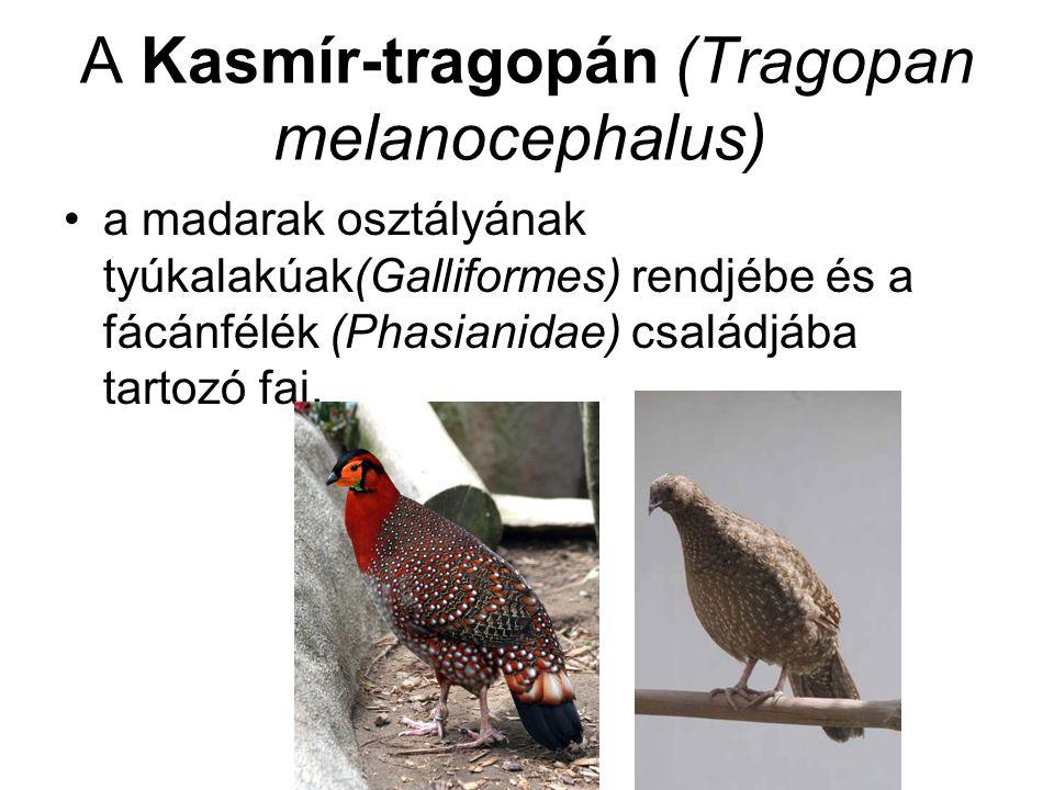 A Kasmír-tragopán (Tragopan melanocephalus)