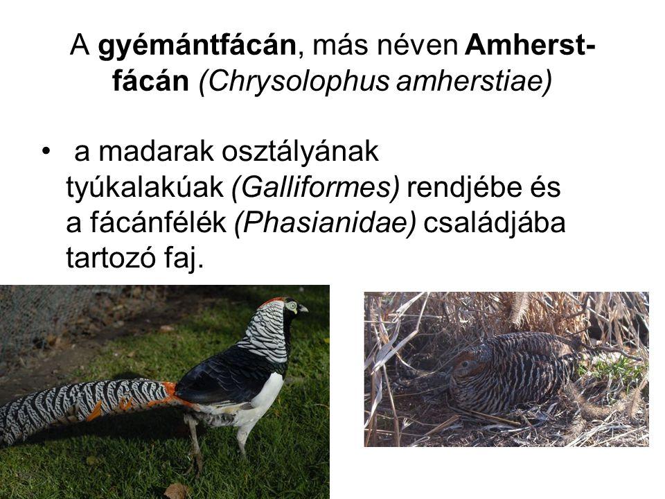 A gyémántfácán, más néven Amherst-fácán (Chrysolophus amherstiae)
