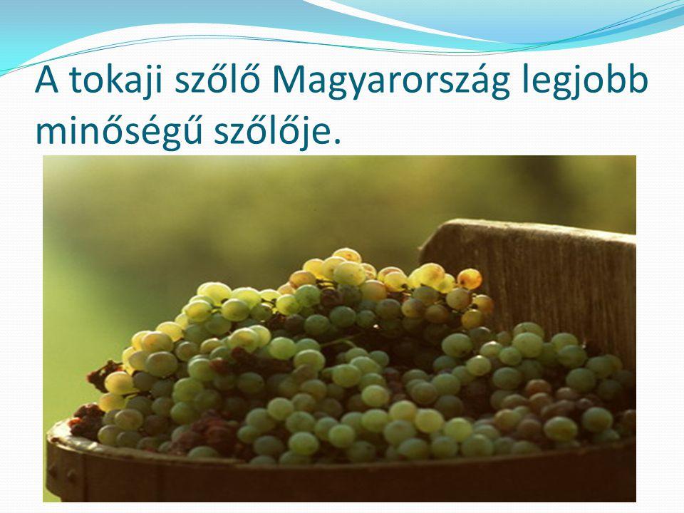 A tokaji szőlő Magyarország legjobb minőségű szőlője.