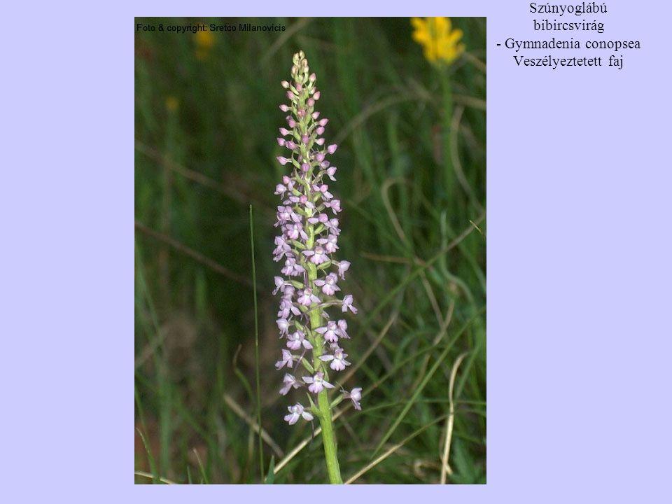 Szúnyoglábú bibircsvirág - Gymnadenia conopsea Veszélyeztetett faj