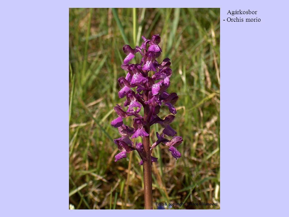 Agárkosbor - Orchis morio
