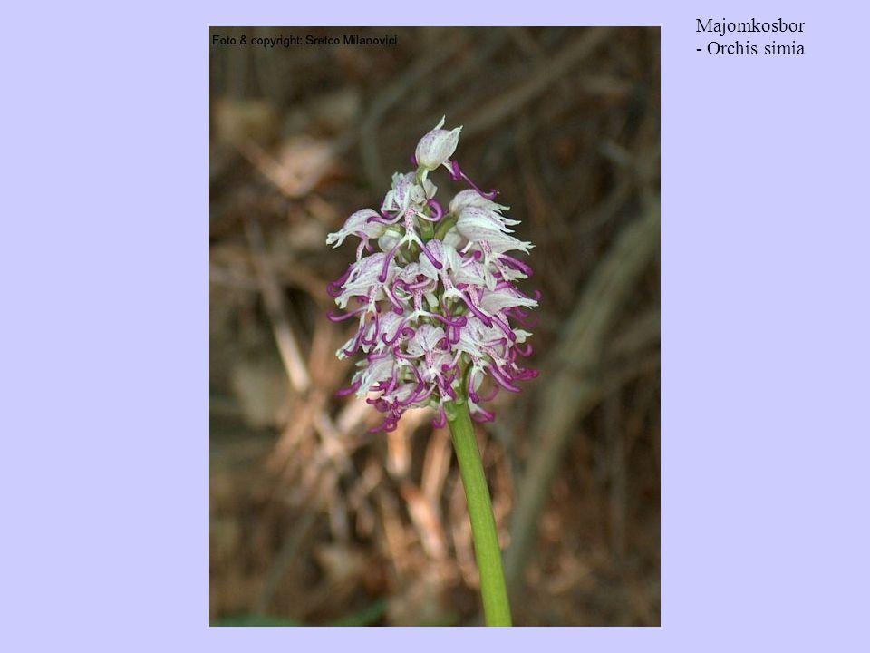 Majomkosbor - Orchis simia
