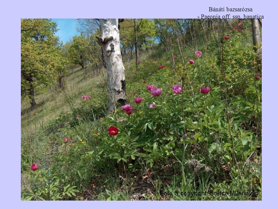 Bánáti bazsarózsa - Paeonia off. ssp. banatica