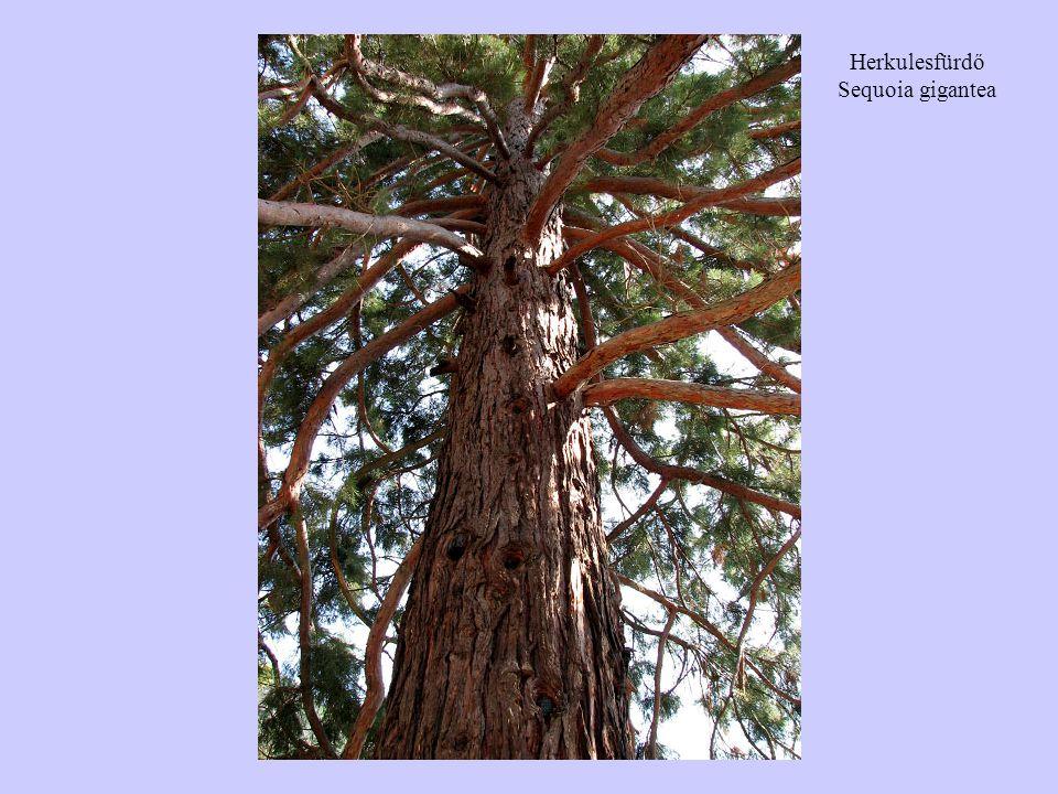 Herkulesfürdő Sequoia gigantea