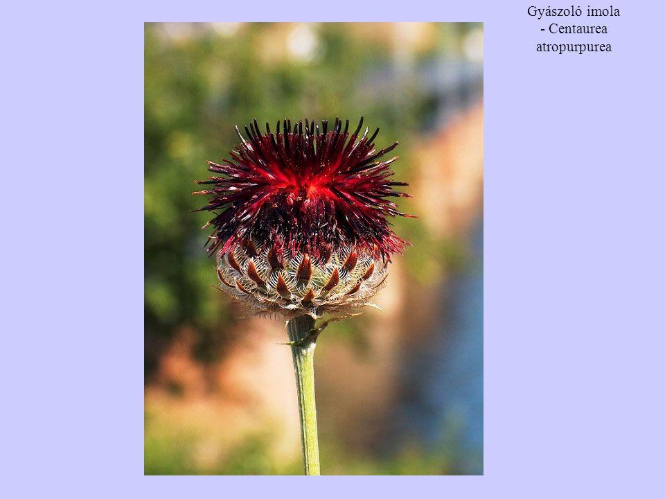 Gyászoló imola - Centaurea atropurpurea