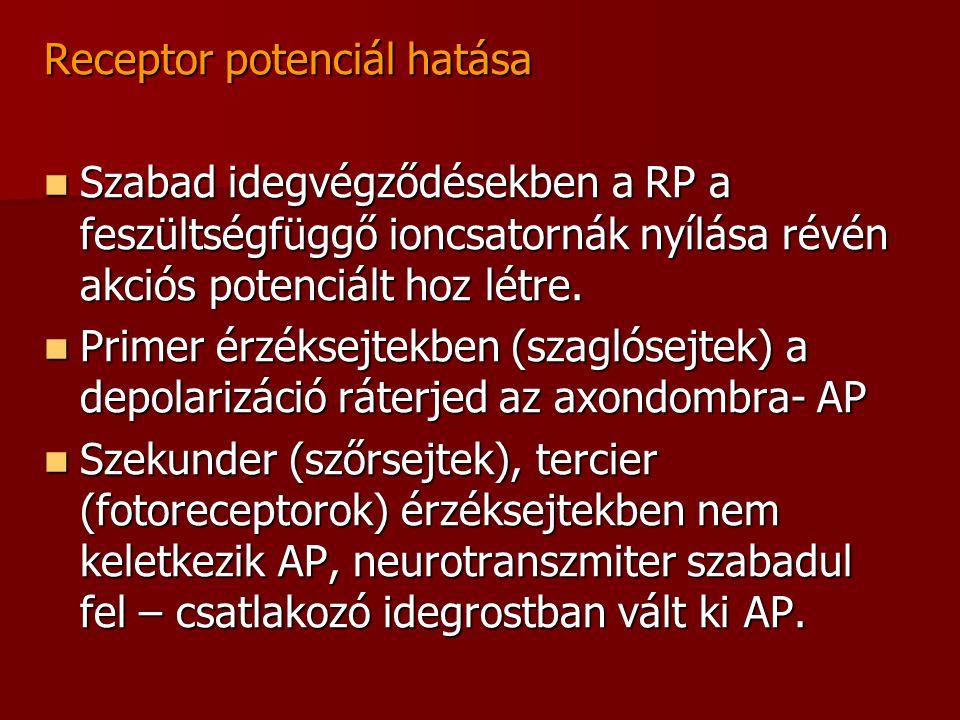Receptor potenciál hatása
