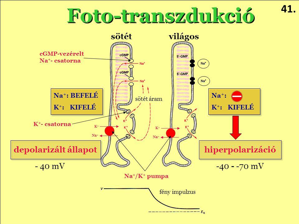 Foto-transzdukció 41. sötét világos depolarizált állapot