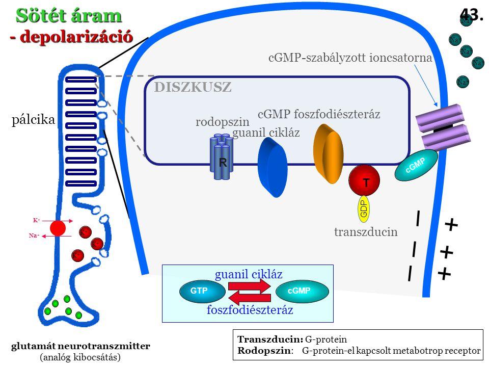 glutamát neurotranszmitter