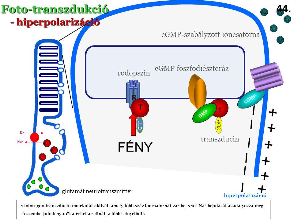 + + + + + + I I I FÉNY I I I Foto-transzdukció 44. - hiperpolarizáció