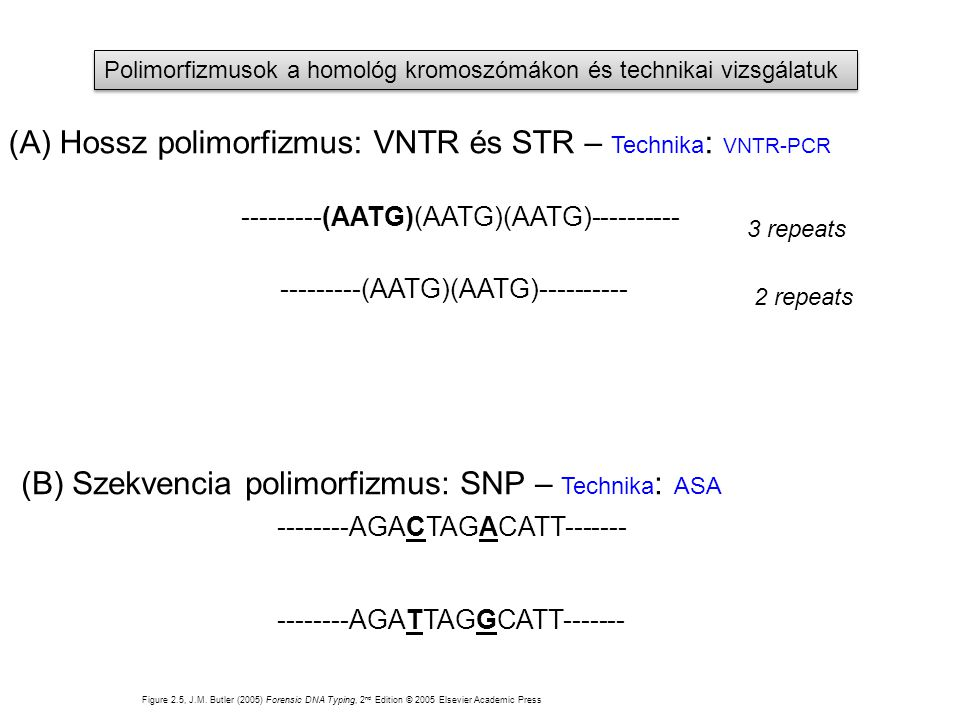 (A) Hossz polimorfizmus: VNTR és STR – Technika: VNTR-PCR