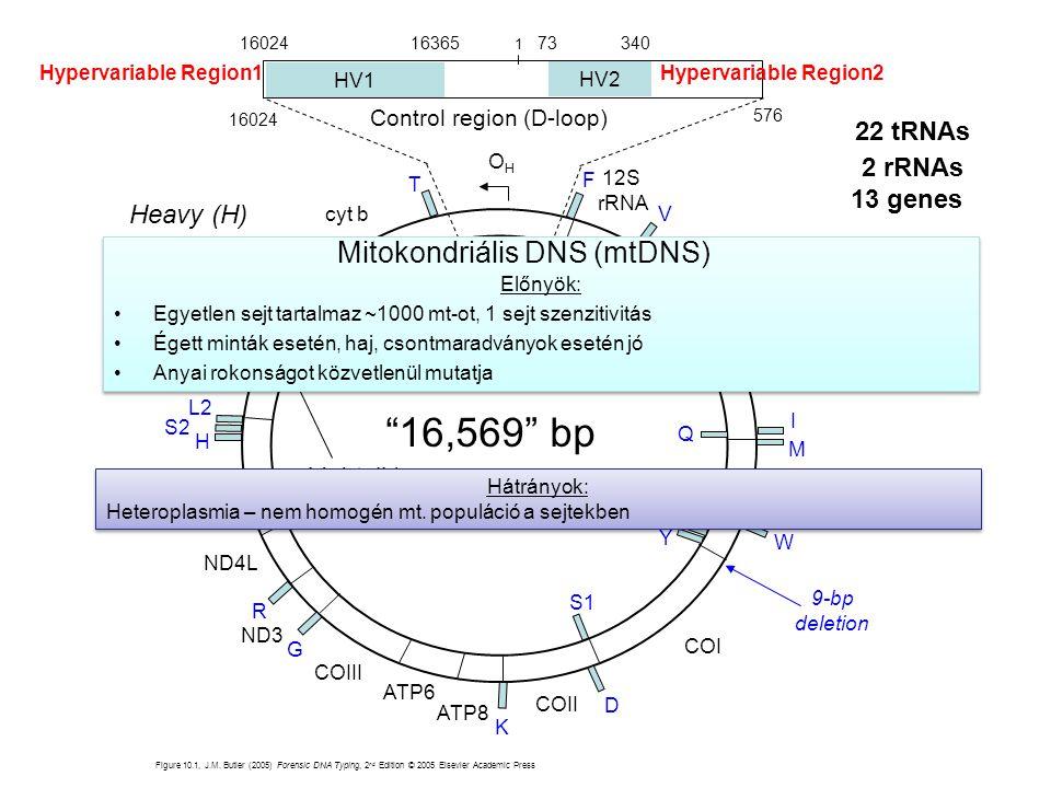Mitokondriális DNS (mtDNS)