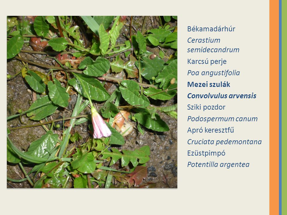 Békamadárhúr Cerastium semidecandrum. Karcsú perje. Poa angustifolia. Mezei szulák. Convolvulus arvensis.