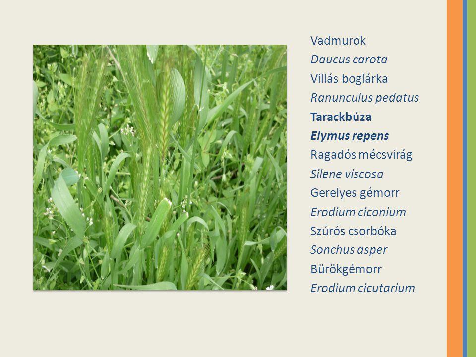 Vadmurok Daucus carota. Villás boglárka. Ranunculus pedatus. Tarackbúza. Elymus repens. Ragadós mécsvirág.